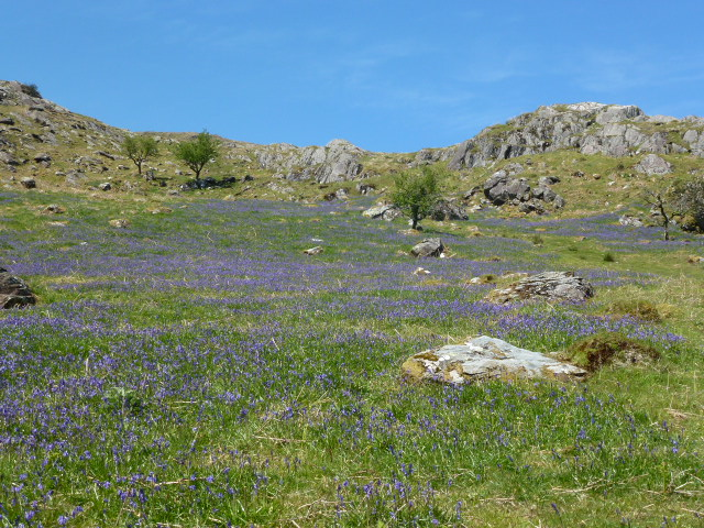 Bluebells at the bottom of Moel Hebog