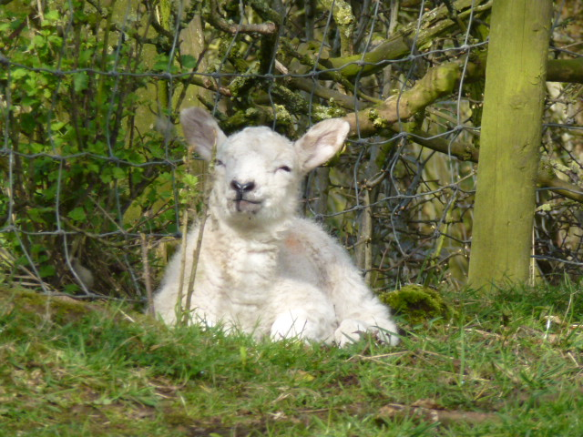 I saw a lot of these sleepy lambs