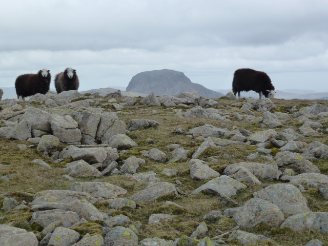 And with Herdwicks
