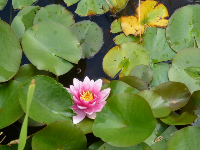 A water lily for Claude Monet (Carol in that hat)