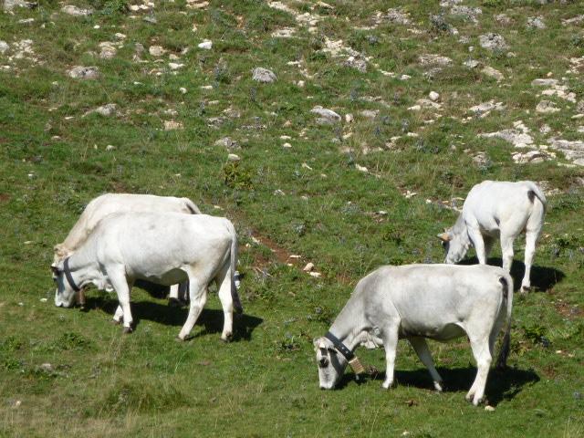 Gascon cattle